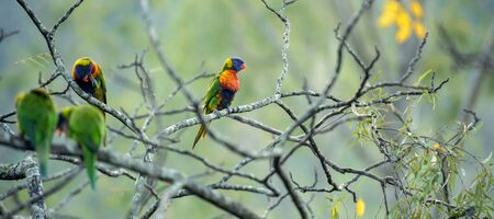 Rainbow lorikeets out in nature during the day, Queensland.