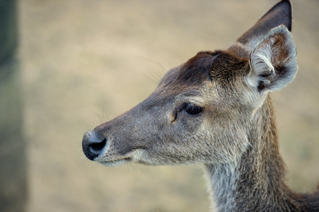 queensland: Deer outside during the day in Queensland. Stock Photo