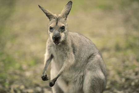 aussie: Wallaby outside by itself