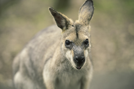 wallaby: Wallaby outside by itself