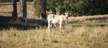 queensland: Cow in the paddock during the day in Queensland
