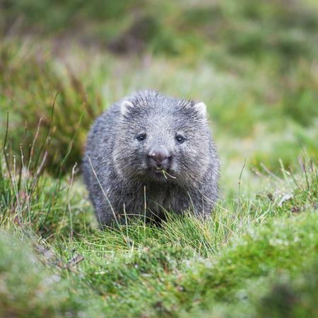 Wombat encontró durante el día en montaña de la horquilla, Tasmania Foto de archivo