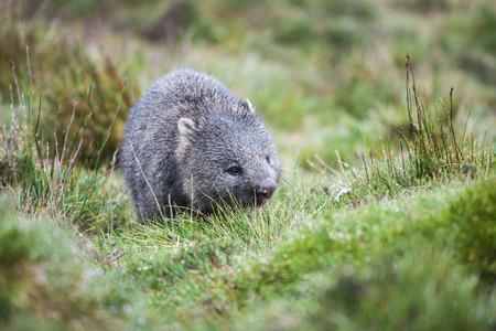 wombat: Wombat encontró durante el día en montaña de la horquilla, Tasmania Foto de archivo
