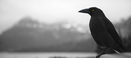corvus: The black currawong out in nature during the day in Cradle Mountain, Australia resting on a tree branch.
