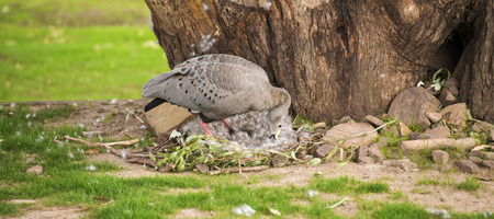 barren: Cape barren goose with her nest and eggs