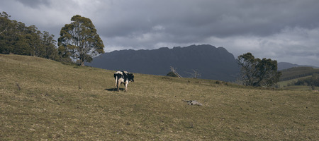 Holstein Fresian cow out in the paddock during the day in Tasmania, Australia