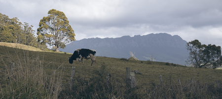 Holstein Fresian cow out in the paddock during the day in Tasmania, Australia. Stock Photo