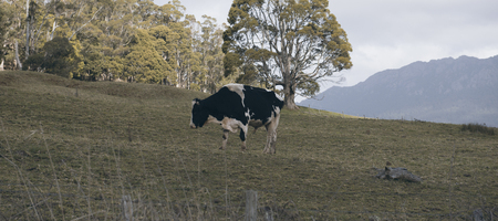 fresian: Holstein Fresian cow out in the paddock during the day in Tasmania, Australia. Stock Photo
