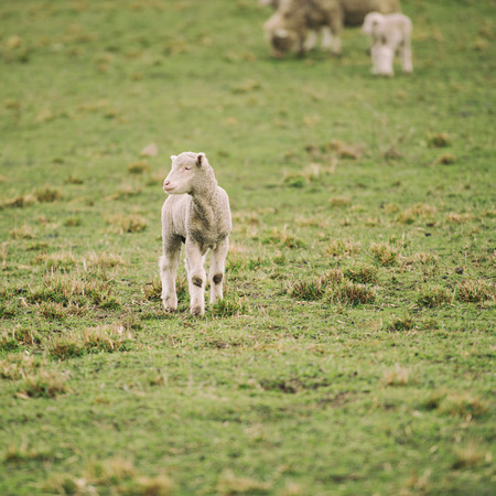 Sheep on the farm during the day in Tasmania. Stock Photo
