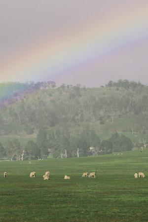 tasmania: Sheep on the farm during the day in Tasmania. Stock Photo