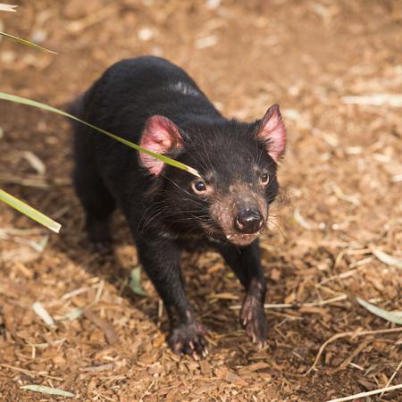 tasmanian: Tasmanian Devil in Hobart, Tasmania during the day. Stock Photo