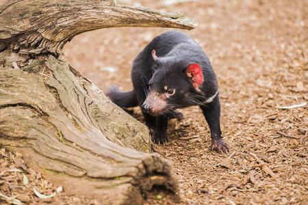 tasmania: Tasmanian Devil in Hobart, Tasmania during the day. Stock Photo