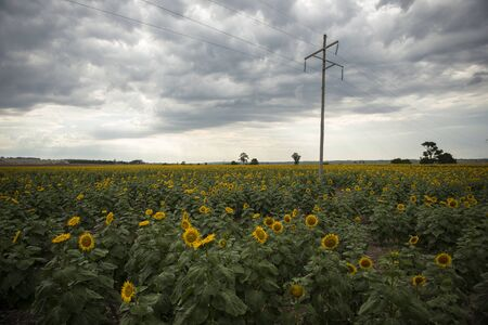 queensland: Sunflowers amongst a field in the afternoon in Queensland, Australia.