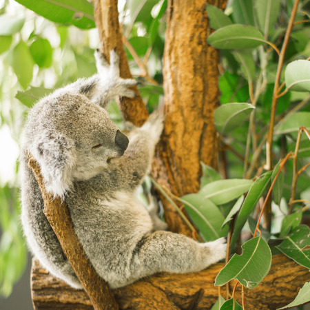 Australian koala outdoors in a eucalyptus tree. Stock Photo