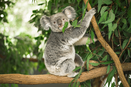 Australian koala outdoors in a eucalyptus tree. Stockfoto