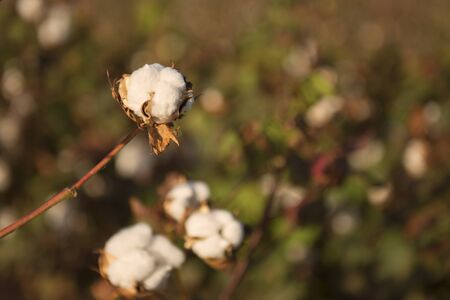 seed: Fields on cotton ready for harvesting in Oakey, Queensland