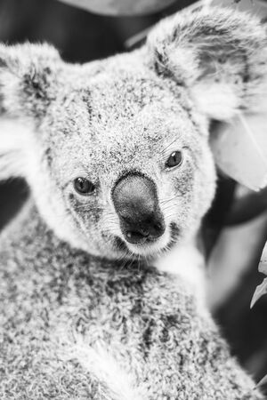 Australian koala outdoors in a eucalyptus tree. Black and White.