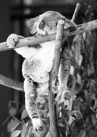 blackwhite: Australian koala outdoors in a eucalyptus tree. Black and White.