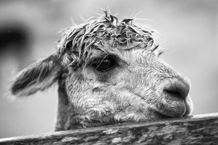 Alpaca in a field. Stock Photo