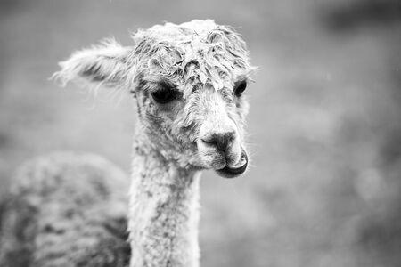 hoofed: Alpaca in a field. Stock Photo
