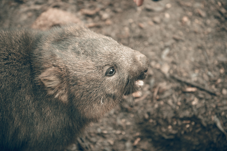 wildanimal: Large adorable wombat during the day looking for grass to eat in Cradle Mountain, Tasmania Stock Photo