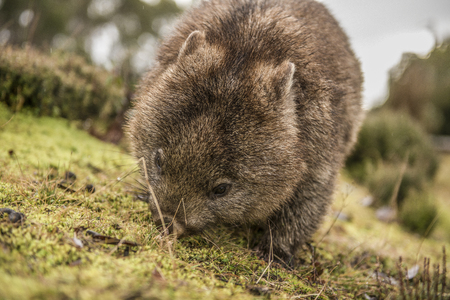 Large adorable wombat during the day looking for grass to eat in Cradle Mountain, Tasmania 版權商用圖片