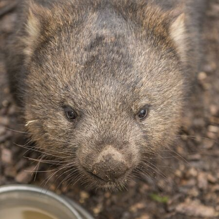 Large adorable wombat during the day looking for grass to eat in Cradle Mountain, Tasmania Stock Photo