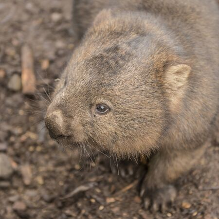 Large adorable wombat during the day looking for grass to eat in Cradle Mountain, Tasmania Foto de archivo