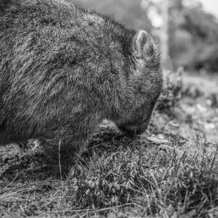 Gran wombat adorable durante el día buscando hierba para comer en Cradle Mountain, Tasmania