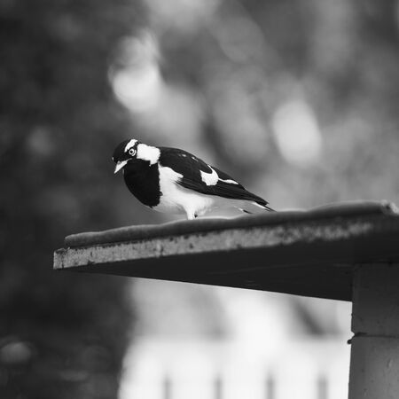 Black and white coloured Magpie Lark outside in the afternoon