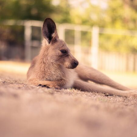 Australian kangaroo outdoors on the grass during the day Stock Photo