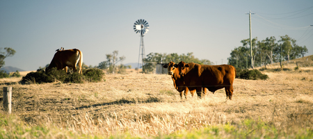 Cows and a windmill in the countryside in Queensland.