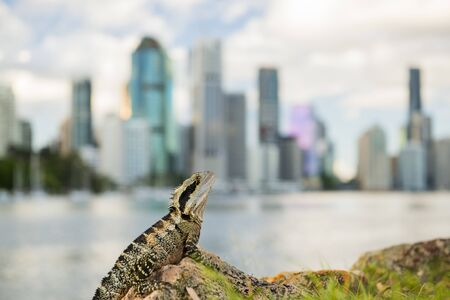 Water Dragon outside during the day in the late afternoon by the Brisbane river with the CBD skyscrapers in the background.