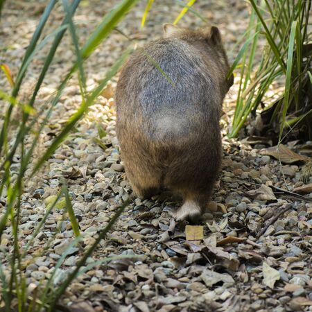 Large adorable wombat during the day looking for grass to eat.