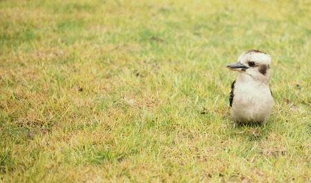 Australian kookaburra by itself resting outdoors during the day. Stock Photo