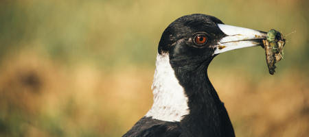 Australian magpie outside during the day time. Stock Photo