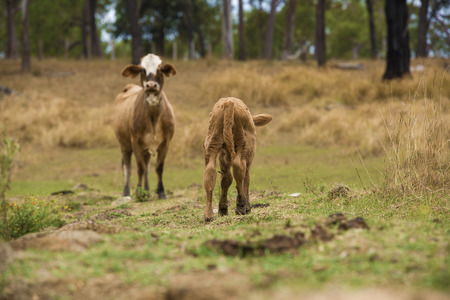 Australian cows on the farm during the day. Stock Photo