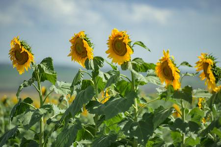クイーンズランド州トゥーンバ州ノビーの午後の畑の中のひまわり。 写真素材
