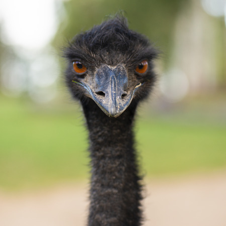 Emu in the outdoors during the day. Stock Photo