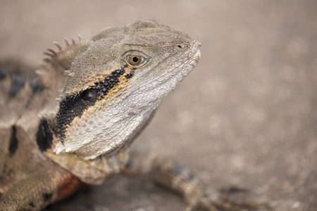 Water Dragon outside during the day time. Stock Photo