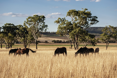 Australian horses in the paddock during the day Stock Photo