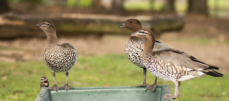 Ducks on a farm during the day drinking water. Stock Photo