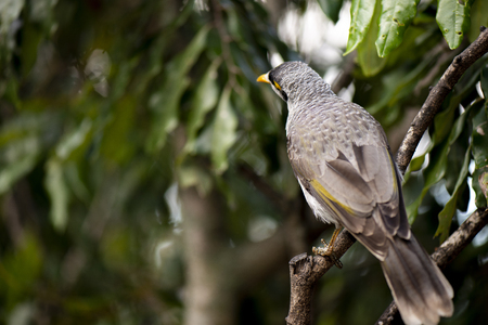 The noisy miner bird by itself during the day Stock Photo