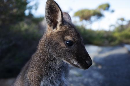 Primer plano de un canguro australiano al aire libre durante el día.