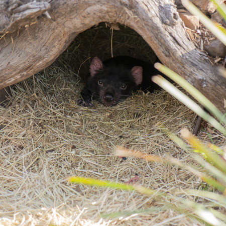 Tasmanian Devil outside during the day in Hobart, Tasmania.
