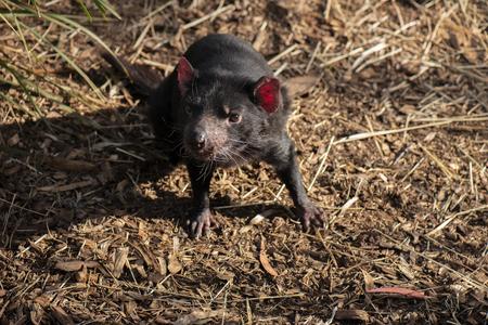 Tasmanian Devil outside during the day in Hobart, Tasmania.
