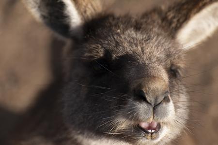 Australian kangaroo outdoors during the day time.