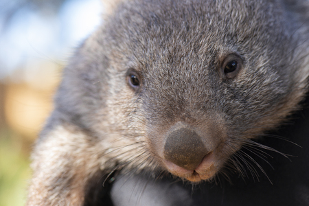 Large Australian wombat outside during the day being held.