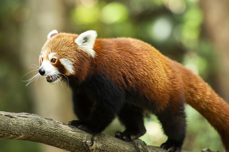 Cute Red Panda in nature during the day Stockfoto
