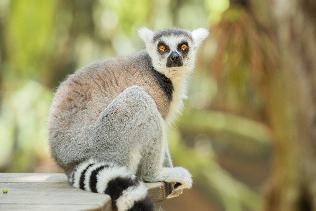 Lemur outside in nature during the day